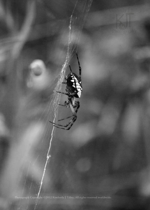 Argiope, an Orb-Weaver Spider. She creates interesting zigzags in her web.