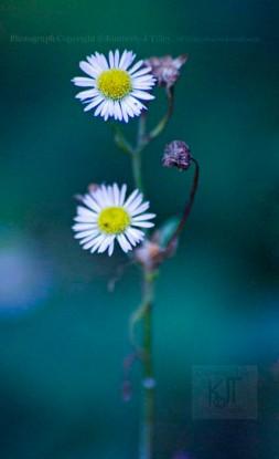 wildflower, aster