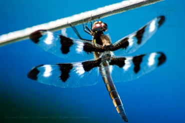 I photographed this Tweleve-Spotted Skimmer as it was enjoying the warmth of the sun, hanging on a rope.