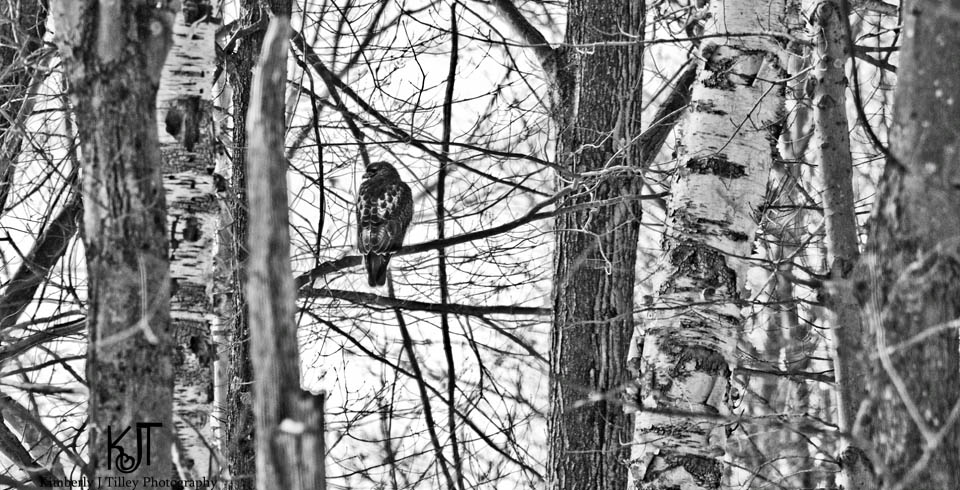 red-tailed hawk in trees