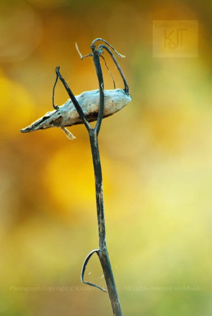 milkweed, autumn,