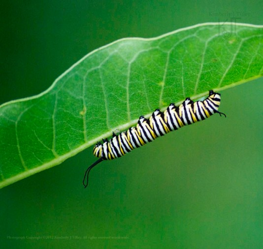A Monarch Catepillar clings to the underside of a Milkweed leaf.