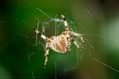 Neoscona crucifera, a Orb-weaver spider.