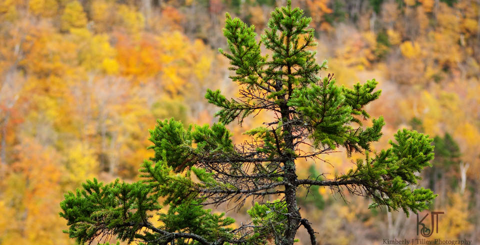 pine tree in autumn