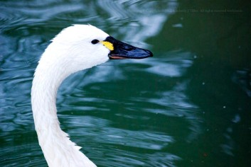 A Swan raises her head from the pond.