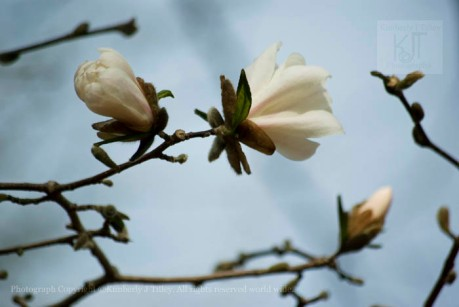 magnolia, flower, tree branch.
