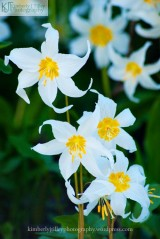 white and yellow avalanche lily flowers