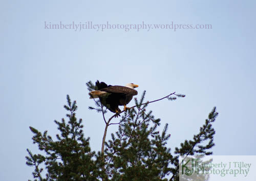 bald eagle in pine tree