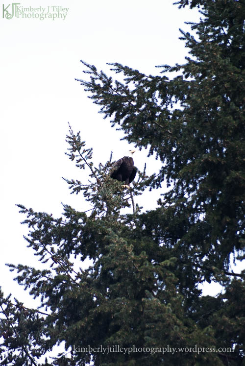 bald eagle perched in a pine tree