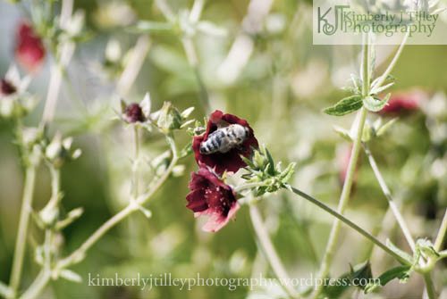 A honey bee pollinating from a strawberry plant