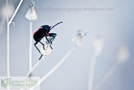 a black and red beetle waving a leg