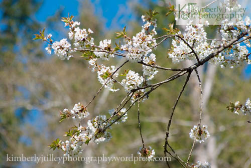 White blossoms on a tree branch