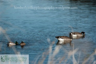 ducks and geese at a pond