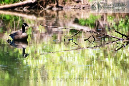 a goose and it's reflection on a river