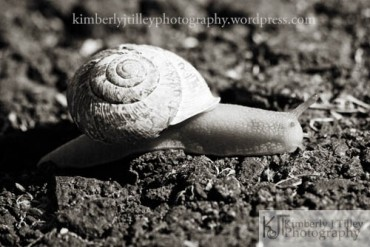 a black and white photograph of a snail