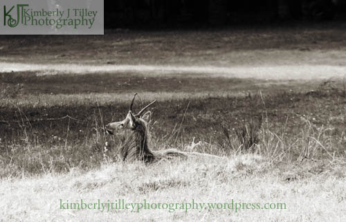 a young elk rests in a field