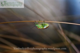a stink bug hangs from a blade of grass