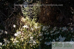 A group of Aalanche Lilies in the shade of trees