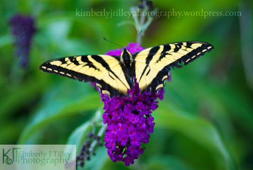 a swallowtail butterfly on a cluster of purple flowers