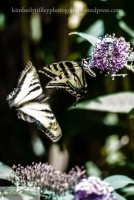 swallowtails and a butterfly bush